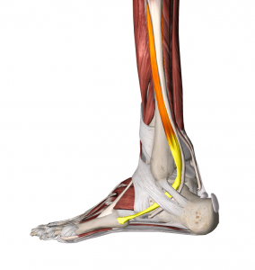 Anatomy Lateral Foot