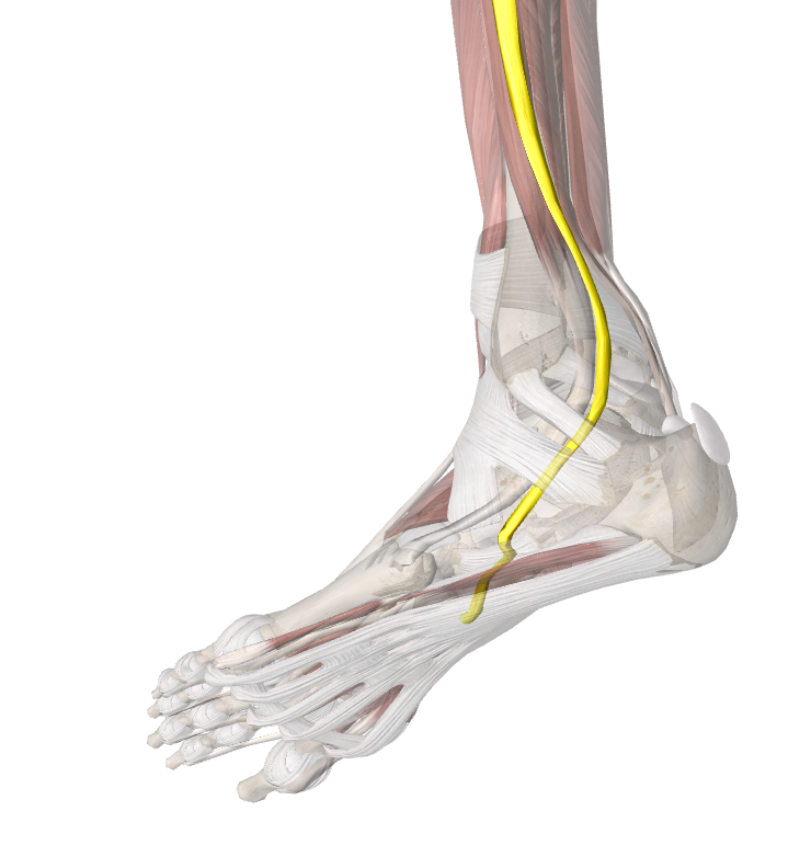 Peroneal Tendon Complex Injury And Rehabilitation 986 Dr